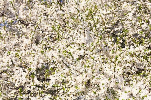 흰 꽃이 만발한 벚꽃 (봄 배경)