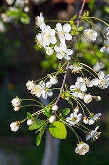 Белая цветущая веточка вишневого дерева