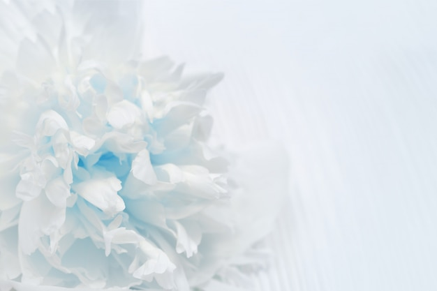 White and blue petals of flowers closeup.