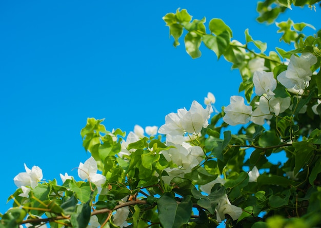 White bougainvillea flowers in the summer park