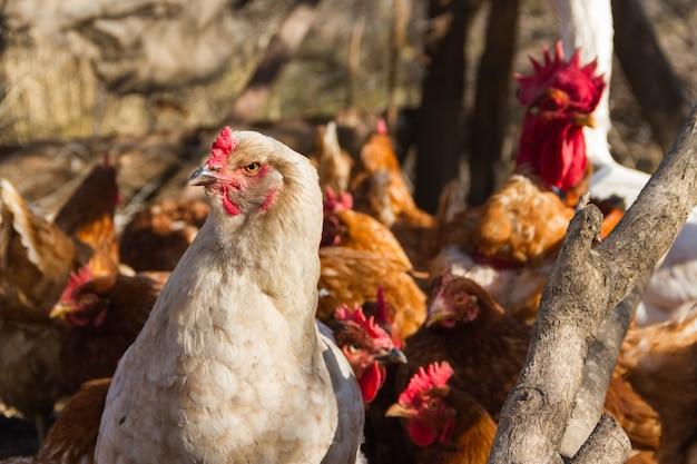 Белая курица-брахма с перьями на ногах в курятнике