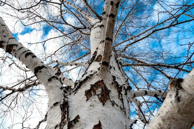 青い空を背景に葉のない白樺の白い枝。白樺ジュースを集めるためにいつも。春の時間