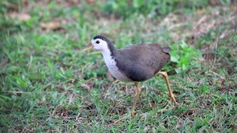 白身のウォーターヘン(Amaurornis phoenicurus)、鳥類
