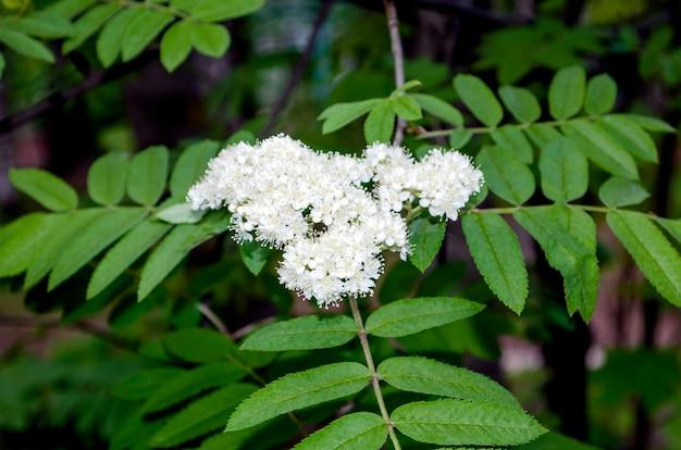 自然の葉に赤いナナカマドの白い花嫁の花