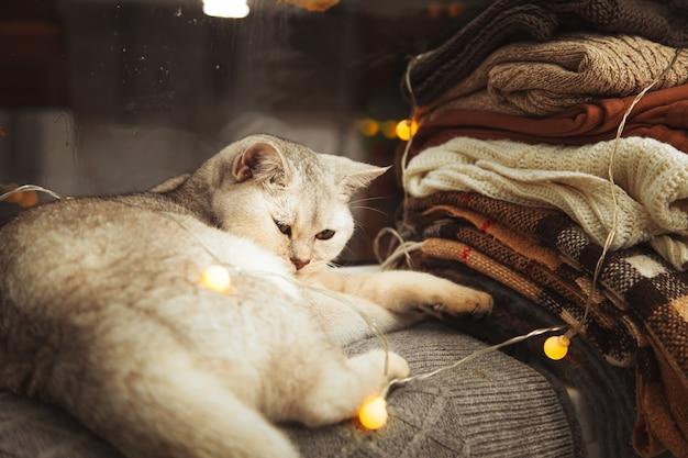 White british cat lies on the windowsill. autumn, rain outside the window, leaves are falling.