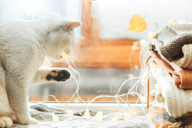 White british cat plays with a garland on the windowsill. autumn, rain outside the window, leaves are falling.