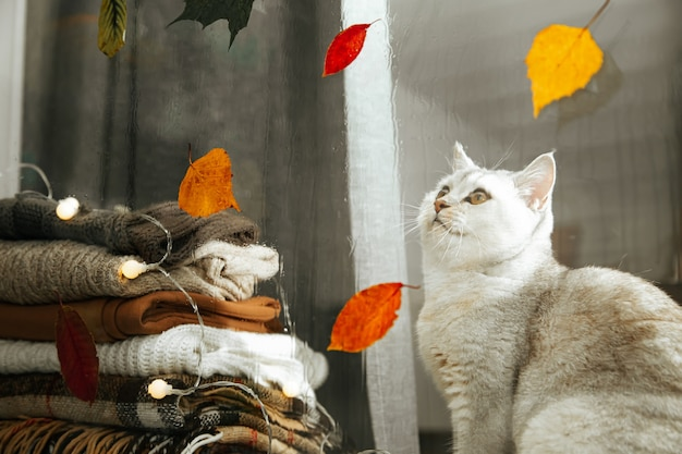 White british cat sitting on a windowsill and looking at falling leaves. autumn, rain.