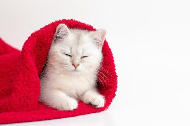 Белый британский кот спит в красном полотенце на белом фоне. скопируйте пространство.