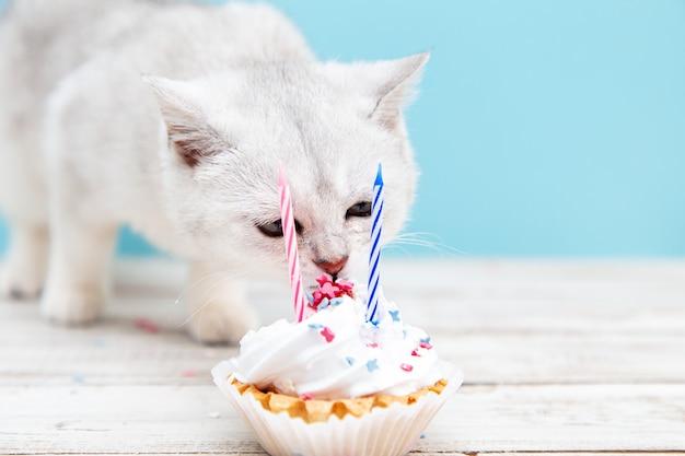 Белый британский котенок ест праздничный торт на синем фоне. концепция праздника и дня рождения.