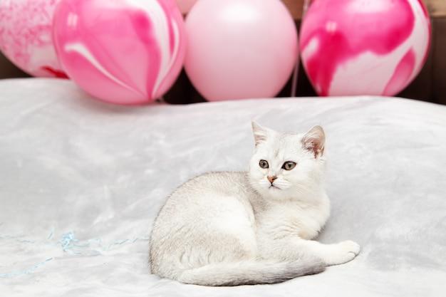 ベッドの上の白いイギリスの子猫。お祝いの風船。休日と誕生日のコンセプト。
