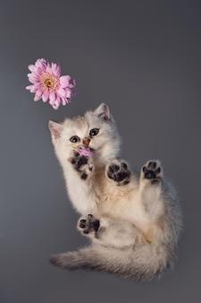 꽃과 함께 흰색 영국 고양이입니다. 아래에서 보는 풍경. 특이한 각도. 선택적 초점.