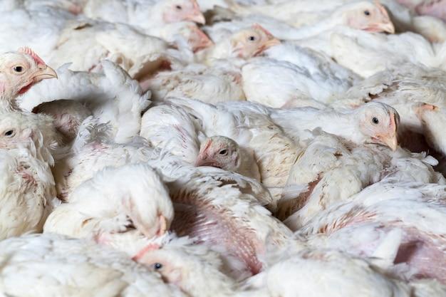 Белый цыпленок-бройлер