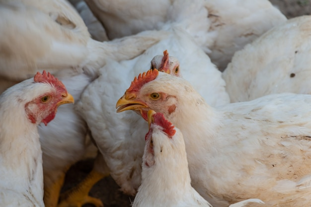 Белые цыплята-бройлеры во дворе фермы цыплята общаются