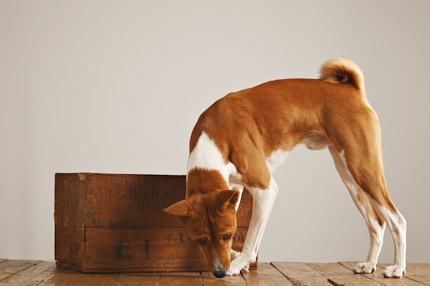 White and brown dog walking around sniffing the floor around a beautiful vintage wooden box against white wall background
