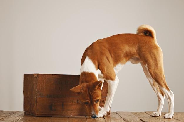 Cane bianco e marrone in giro annusando il pavimento intorno a una bella scatola di legno vintage su sfondo bianco muro