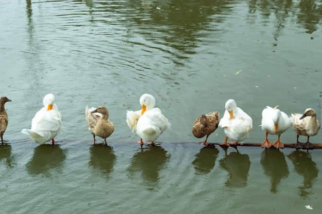 White and brown duck standing on a wooden drowning