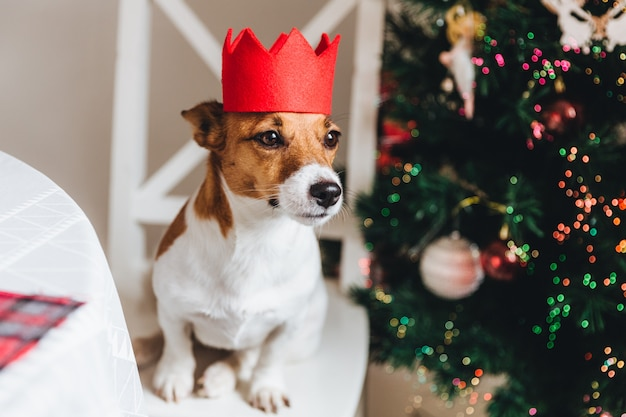 White and brown jack russell dog wears red crown,