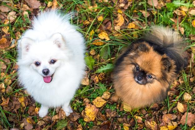 White and brown spitz sit in yellow autumn foliage