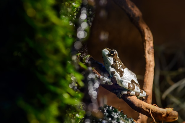 A white and brown spotted amazon milk frog (phrynohyas) sits on a branch