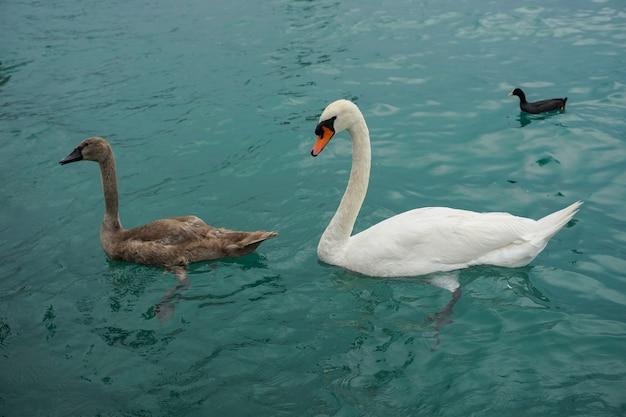 Cigni bianchi e marroni della tundra che nuotano nel mare con un'anatra