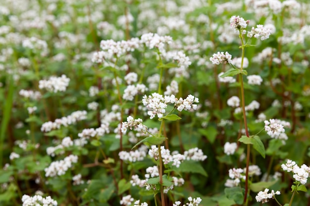개화 중 흰 메밀 꽃