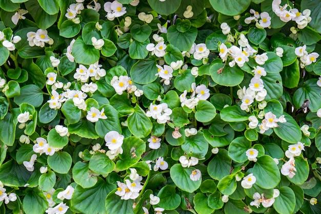 화이트 버드 베고니아 피 꽃