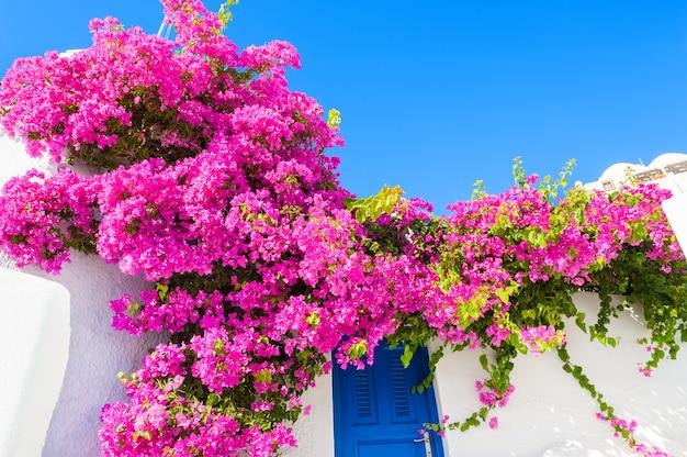 Белое здание с синей дверью и розовыми цветами. остров санторини, греция.