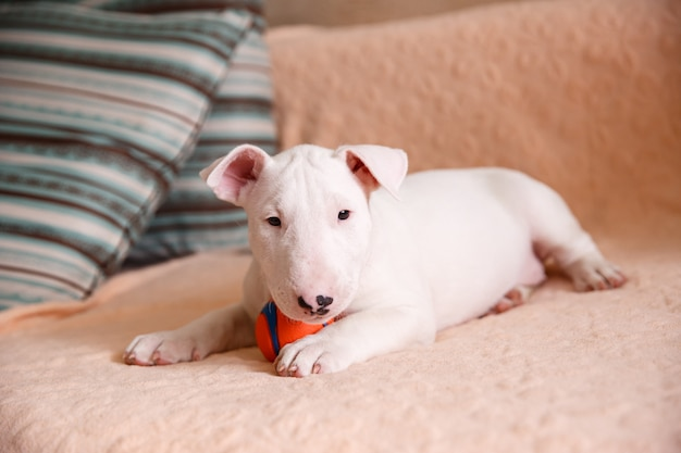 White bull terrier puppy sitting on the couch