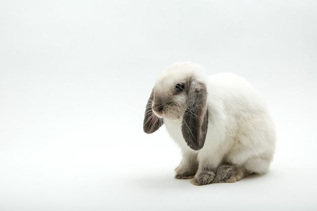 白に分離された白いウサギ