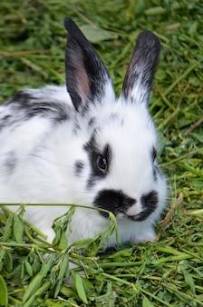 黒い斑点のある白いウサギ