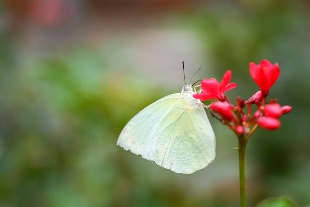 白い蝶が赤い花粉から蜜を吸っています。