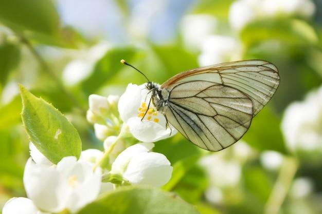 꽃에 흰 나비 aporia crataegi