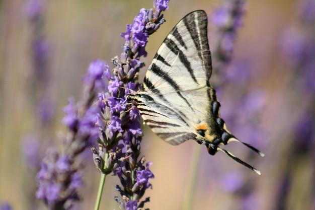 A white butterfly on a lavender flower