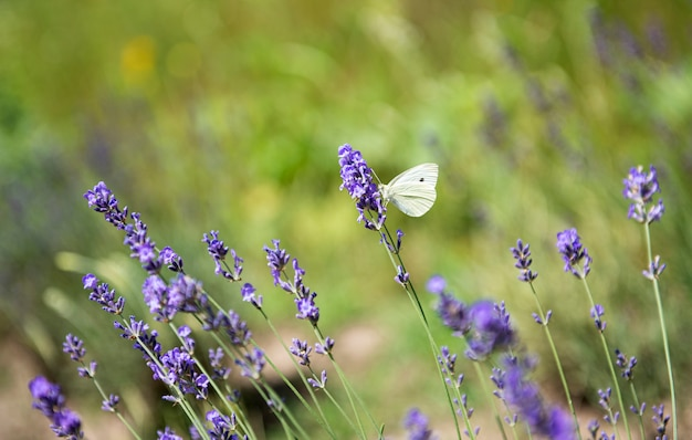 White butterfly on lavender flowers on the field