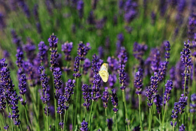 A white butterfly on lavender.