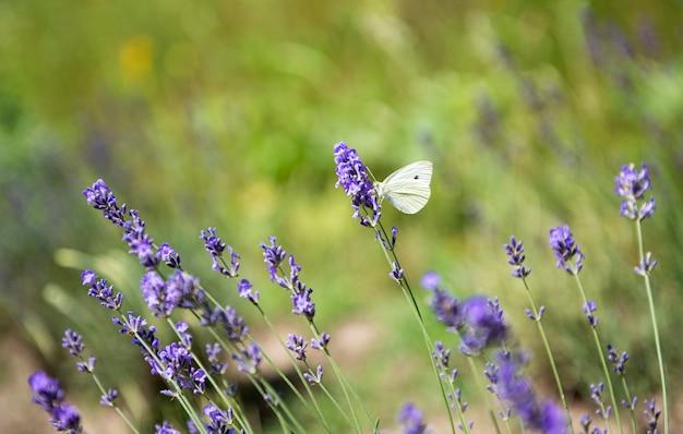Белая бабочка на цветках лаванды на поле