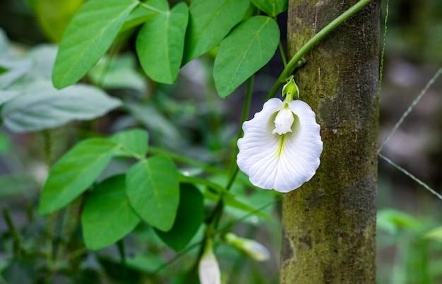 흰 나비 완두콩 꽃 정원에서 보기를 닫습니다
