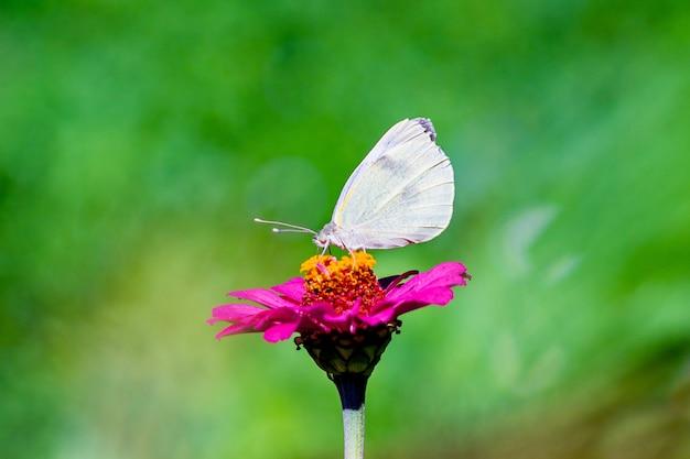 Белая бабочка сидит на розовом цветке в солнечную погоду на размытом фоне.