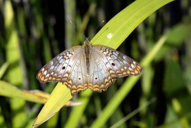 Белая бабочка с коричневыми и оранжевыми пятнами