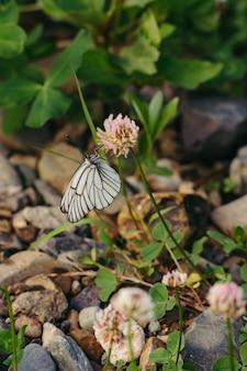 클로버에 앉아 흰 양배추 나비