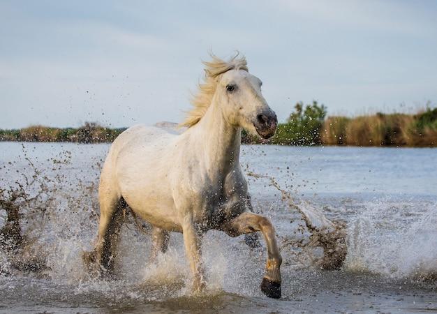 ホワイトカマルグ馬は沼地の自然保護区で走っています