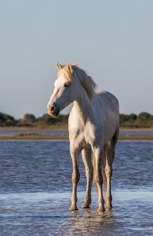 白いカマルグ馬が砂の上に立っています