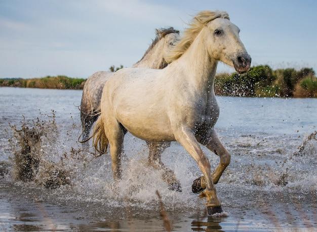 白いカマルグ馬が沼地の自然保護区で走っています