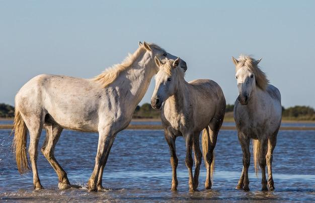 白いカマルグ馬が沼地の自然保護区に立っています