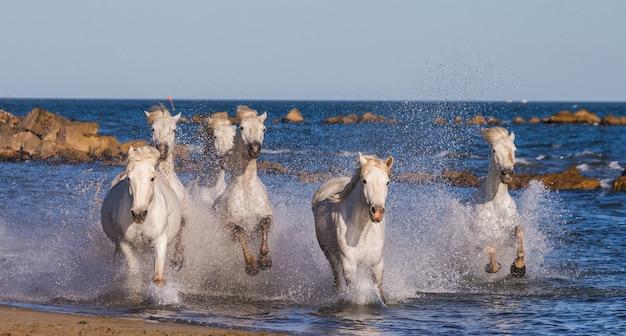 海のビーチに沿って疾走する白いカマルグ馬