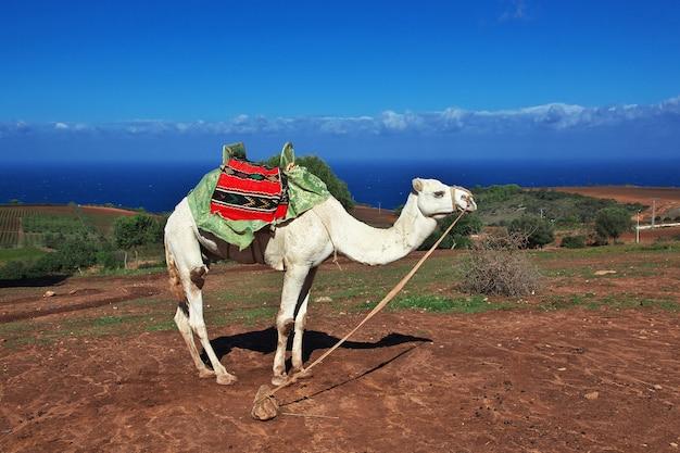 Белый верблюд на средиземноморском побережье в алжире, африке