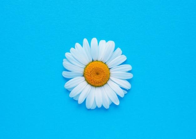 Белый цветок ромашки на синей поверхности. белая ромашка. вид сверху, копией пространства.