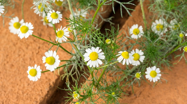 White camomile flower plant in a garden.