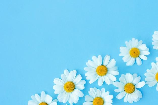 Белые ромашки на синем фоне. красивая весенняя или летняя композиция