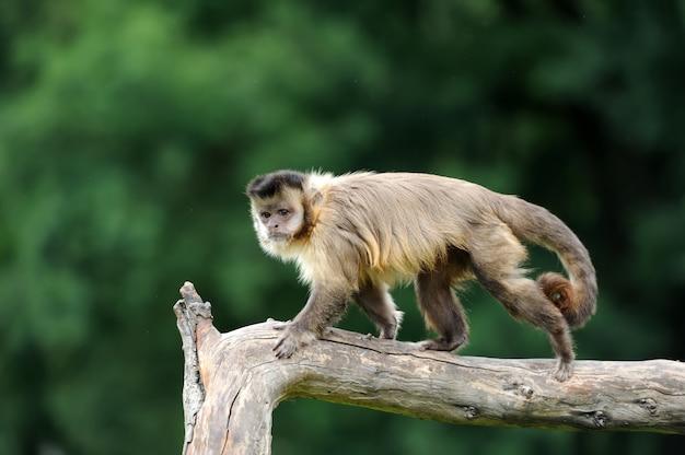 Белая обезьяна капуцин на ветке в природе